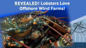 Lobsters Love Offshore Wind